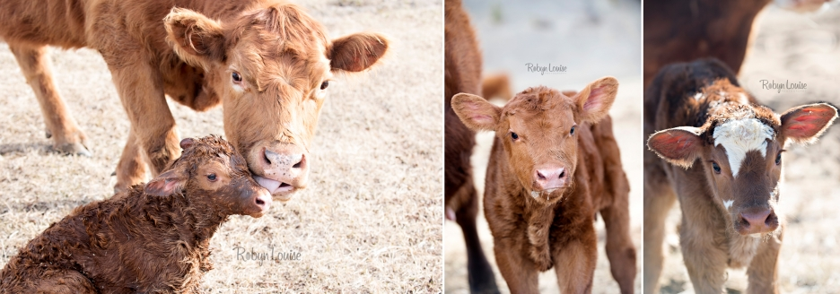 cute-calves-red-angus-simmental-robyn-louise-photography0003