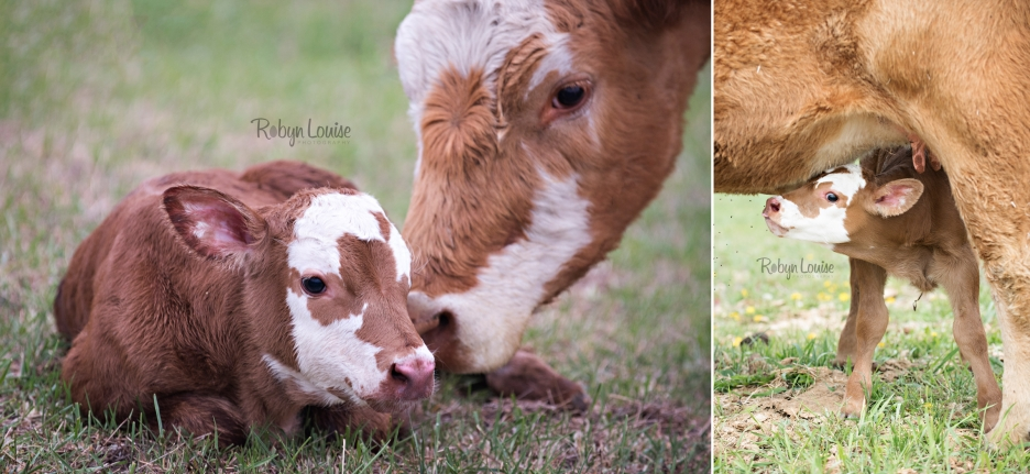 cute-calves-red-angus-simmental-robyn-louise-photography0012